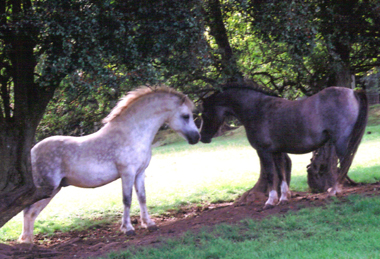 Springbourne Hector (by Springbourne Carreg) greets one of his mares Blackhill Yvette on the hill