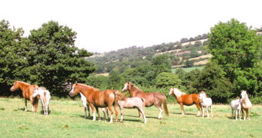 Mares and foals by the house