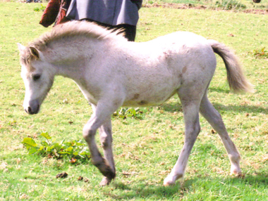 Section A foal by Blanche Gwilym
