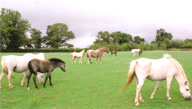 Section A mares and foals Left: Polaris Amanda with filly foal Glebedale Armani Centre: roan mare Glebedale Sonnet with colt foal by Ringstead Candi Right: Polaris Sioned Background: Polaris Ulissa with colt foal