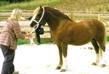 Section C stallion Glebedale Reply Synod Replay x Cwmbeeg Cadi